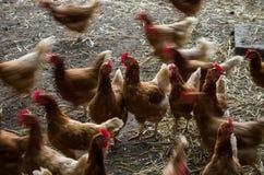 Pollos que dan une vuelta en una granja Imagen de archivo libre de regalías
