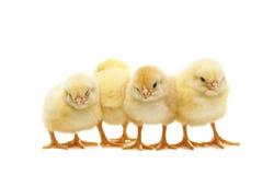 Pollos recién nacidos Fotos de archivo