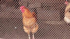 Pollos rojos, marrones en el pueblo Mirada curiosa de los pollos a través de las barras almacen de video
