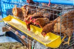 Pollos rojos que comen la alimentación Imágenes de archivo libres de regalías