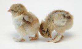 Pollos soñolientos Foto de archivo