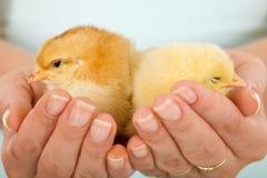 Pollos soñolientos en manos de la mujer Imágenes de archivo libres de regalías