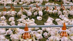 Pollos tomateros crecientes en la granja almacen de video