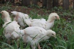 Pollos tomateros que pastan en un prado Imagen de archivo libre de regalías