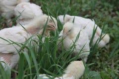 Pollos tomateros que pastan en un prado Fotos de archivo