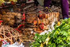 Pollos vivos en el mercado Fotos de archivo