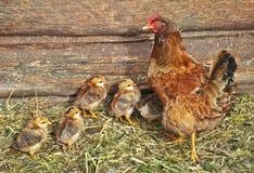 Pollos y gallina Fotos de archivo libres de regalías