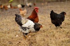 Pollos y gallo Foto de archivo libre de regalías