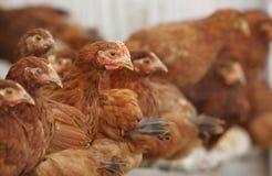 Pollos y gallo Fotografía de archivo