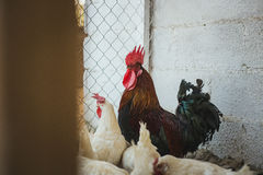 Pollos y gallos Fotografía de archivo