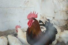 Pollos y gallos Foto de archivo