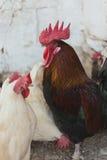 Pollos y gallos Fotografía de archivo libre de regalías