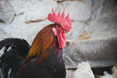 Pollos y gallos Imagen de archivo libre de regalías