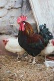 Pollos y gallos Imagenes de archivo