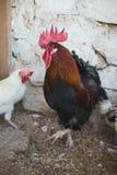 Pollos y gallos Imágenes de archivo libres de regalías