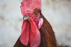 Pollos y gallos Fotos de archivo
