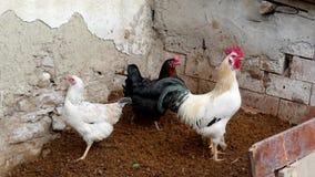 Pollos y gallos en el ambiente del pueblo, pollos de la ojeada y gallos metrajes