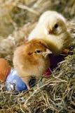 Pollos y huevos Foto de archivo libre de regalías