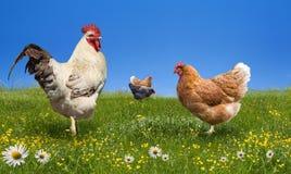 Pollos y martillo en el prado verde foto de archivo