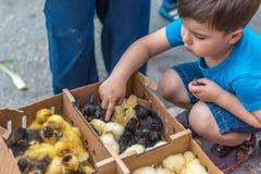 Pollos y niño dulce Imagenes de archivo