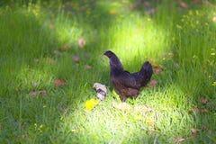 Pollos y polluelos Imágenes de archivo libres de regalías