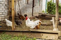Pollos y un gallo en un gallinero de pollo en una granja Esta escena rural de la vida en una granja los pollos y una caza del gal foto de archivo