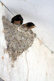 Polluelo foto de archivo libre de regalías