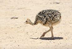 Polluelo africano de la avestruz Fotografía de archivo
