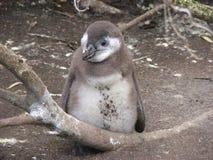 Polluelo africano del pingüino del bebé Foto de archivo libre de regalías