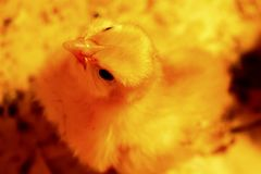 Polluelo amarillo imagen de archivo libre de regalías