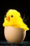 Polluelo amarillo de Pascua en huevo Fotografía de archivo