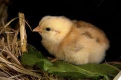 Polluelo amarillo del bebé Fotografía de archivo libre de regalías