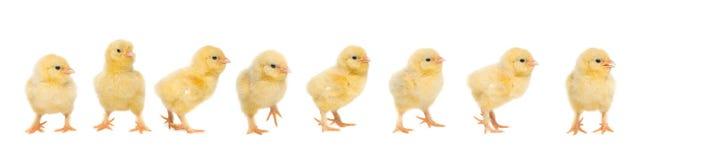 Polluelo amarillo del bebé ocho que camina detrás de uno a Foto de archivo