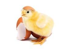 Polluelo amarillo lindo del bebé con el huevo Fotos de archivo