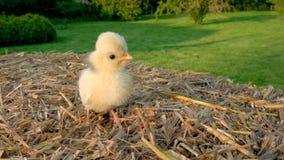 Polluelo amarillo lindo, pollo de Polonia del bebé, sentándose en una bala de heno afuera en sol de oro del verano almacen de metraje de vídeo