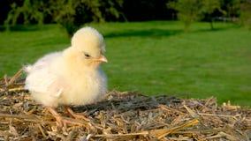 Polluelo amarillo lindo, pollo de Polonia del bebé, sentándose en una bala de heno afuera en sol de oro del verano metrajes