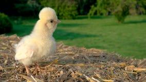 Polluelo amarillo lindo, pollo de Polonia del beb?, sent?ndose en una bala de heno afuera en sol de oro del verano metrajes