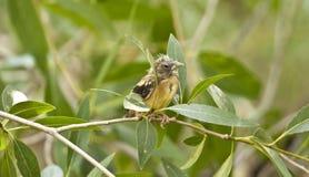 Polluelo americano del jilguero Imagen de archivo libre de regalías