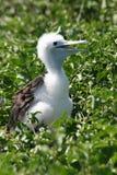 polluelo Azul-footed del bobo, las Islas Gal3apagos Foto de archivo libre de regalías