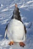 Polluelo casi totalmente mudado Gentoo del pingüino Imágenes de archivo libres de regalías