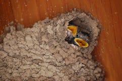 Polluelo Cliff Swallows Fotografía de archivo libre de regalías