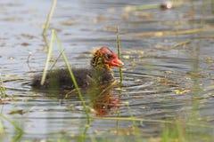 Polluelo común de la polla de agua Imagenes de archivo
