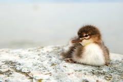 Polluelo común del pollo de agua Fotografía de archivo
