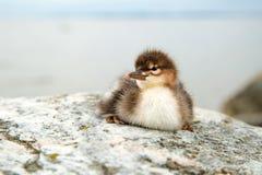 Polluelo común del pollo de agua Fotos de archivo libres de regalías