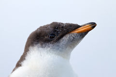 Polluelo curioso del pingüino de Gentoo Fotos de archivo libres de regalías