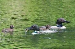 Polluelo de alimentación del bebé del bribón del Gavia del padre común del immer en el lago Imágenes de archivo libres de regalías
