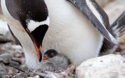 Polluelo de alimentación del bebé del pingüino de Gentoo Imagen de archivo libre de regalías