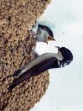 Polluelo de alimentación rápido fotografía de archivo libre de regalías