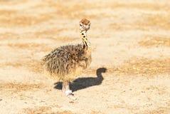 Polluelo de la avestruz Fotografía de archivo