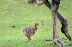 Polluelo de la avestruz imagen de archivo